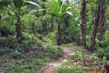 Trail wandering through a banana orchard