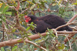 tree-climbing chicken