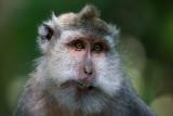 Macaque - Bali