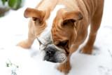 Edwige the English bulldog