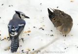 Blue Jay & Dove