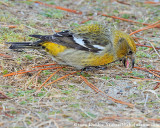 WW Crossbill