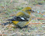 White-winged Crossbill Female