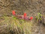 Common Red Paintbrush at Bear Beach