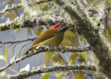 Golden-Olive-Woodpecker.jpg