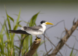 Large-billed-Tern3.jpg