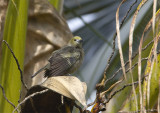 Palm-Tanager.jpg