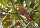 Squirrel-Cuckoo.jpg