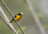 Thick-billed-Euphonia3.jpg