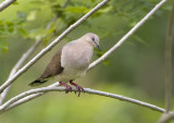 White-tipped Dove / Paloma Coliblanca