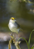 Yellow-crowned-Sparrow.jpg