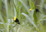 Yellow-hooded-Blackbird.jpg
