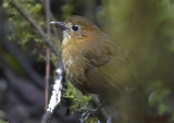 Brown-banded-Antpitta2.jpg