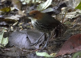 Chestnut-crowned-Antpitta.jpg
