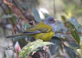 Grey-hooded-Bush-Tanager2.jpg