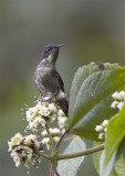 Purple-backed-Thornbill.jpg