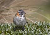 Rufous-collared-Sparrow.jpg