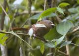 Sharpe's Wren Cinnycerthia olivascens