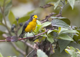 Golden-fronted-Whitestart.jpg