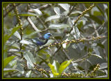 Blue-necked Tanager / Tangar Cuelliazul