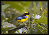 Blue-winged Mountain-Tanager / Tangara-de-Montaña Aliazul
