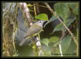 Brown-capped Vireo / Vireo Gorripardo