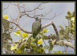 Red-billed Parrot / Loro Piquirrojo
