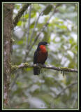 Red-ruffed-Fruit-Crow-3.jpg