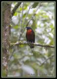 Red-ruffed-Fruit-Crow.jpg