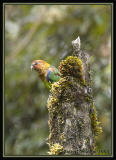 Rusty-faced Parrot / Cotorra Montañera