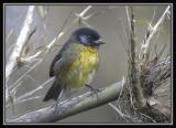 Santa-Marta-Brush-Finch-6.jpg