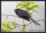 Smooth-billed Ani / Garrapatero Piquiliso