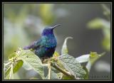 Sparkling Violetear / Orejivioleta Ventriazul