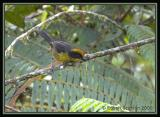 Tricoloured Brush-Finch