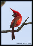 Vermillion-Cardinal-3.jpg