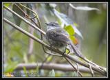White-throated-Tyrannulet.jpg