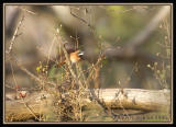 White-whiskered Spinetail / Colaespina Barbiblanco