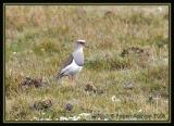 Andean-Lapwing-4.jpg
