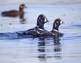 Harlequin Ducks (male)
