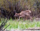 Yellowstone 5/2010:  Year of theBear (Cub)