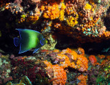 Angelfish and Cup Corals