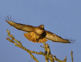 Red Tail at Dawn III