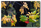 Fall Berries 11-12-8