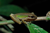 (Rana chalconota)White-lipped Frog