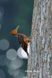 (Reinwardtipicus validus xanthopygius)Orange-backed Woodpecker ♂