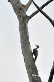 (Muelleripicus pulverulentus)Great Slaty Woodpecker ♀