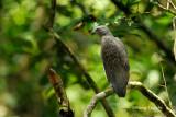 (Ichthyophaga humilis)Lesser Fish Eagle