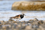 (Arenaria interpres) Ruddy Turnstone - Breeding Male