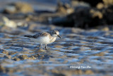 (Calidris ruficollis) Red-necked Stint