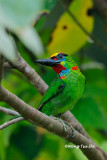 (Megalaima mystacophanos)Red-throated Barbet ♂